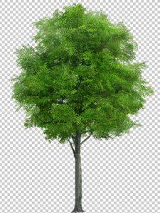 دانلود عکس درخت PNG دوربری شده دقیق با کیفیت بالا و سایز بزرگ